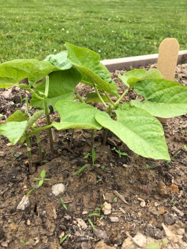 Bigger green bean plants